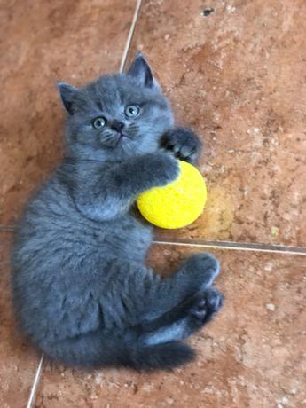 Кошенята, Шотландські кошенята, висловухі та прямовухі котята, котята