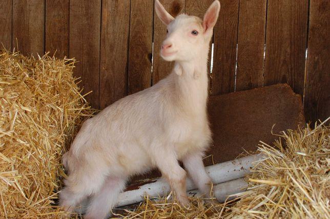 Козлик от 100% породистого альпийского козла и козы зааненской породы.