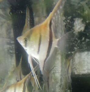Skalar manacapuru 4 -5 cm torun
