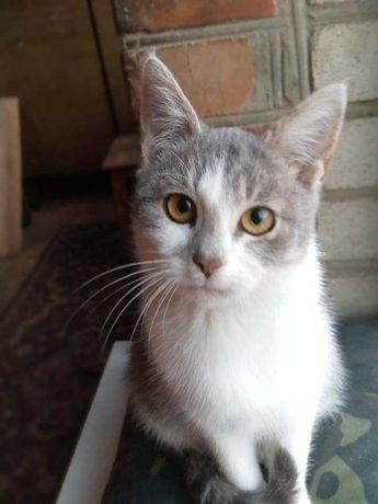 Сіра з білим киця котеня котенок 4 місяці стерилізація безкоштовно