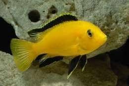 pyszczak yellow bielsko
