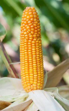 PERRERO nasiona kukurydzy