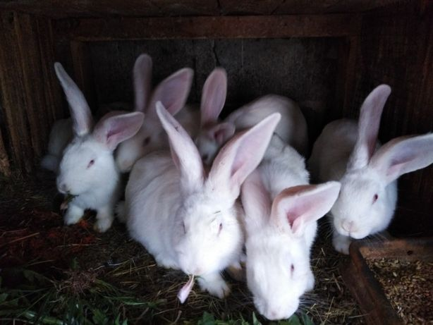 króliki PIĘKNE MŁODE różne rasy BELGI