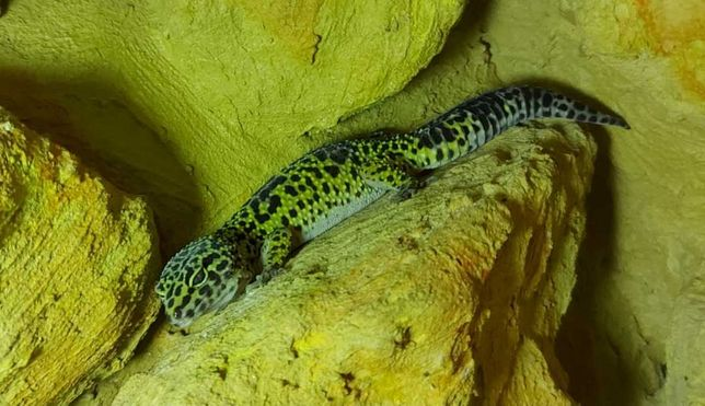 Gekon lamparci(samiczka)