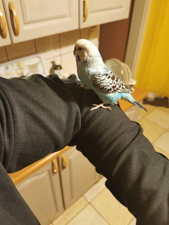 Papuga falista 2 samice