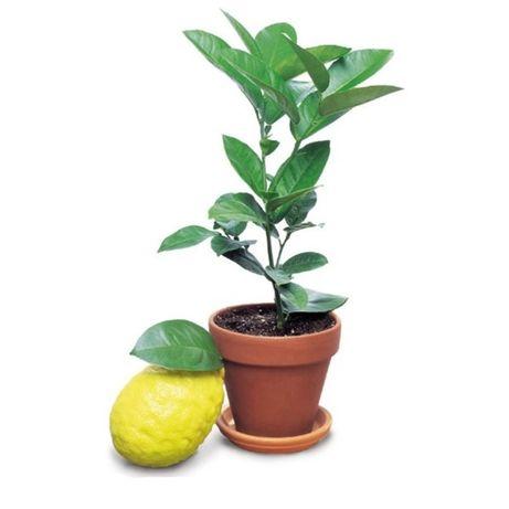 Лимон комнатный плодоносящий, высота 20-30 см