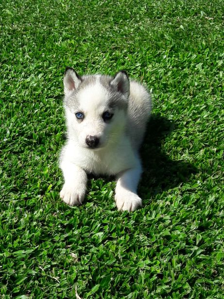 Husky siberiano macho disponível