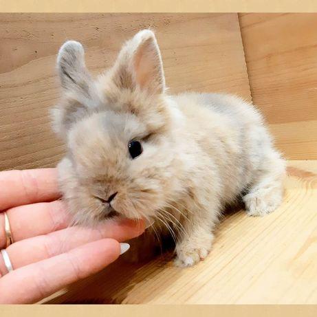 Карликовые миниатюрные декоративные вислоухие и торчеухие кролики