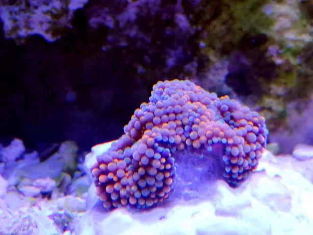 Ricordea Rainbow (Akwarium morskie koralowce)