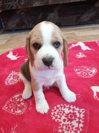 Piękne Pieski  Beagle