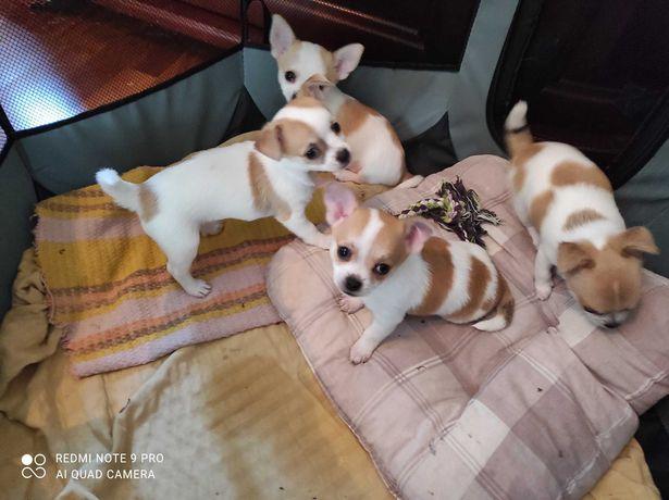 Chihuhahua-śliczne szczeniaki