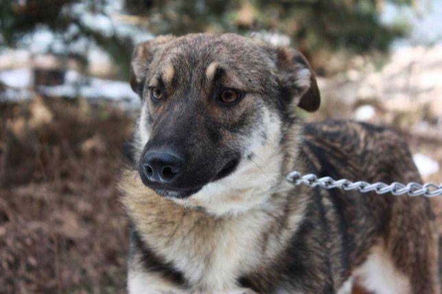 Вуди 7 месяцев, пес, пёс, собака.