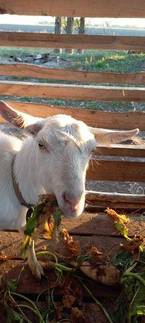 Кози дійні і молодняк , козлики на мясо