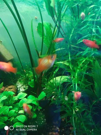 Rybki akwariowe płatki