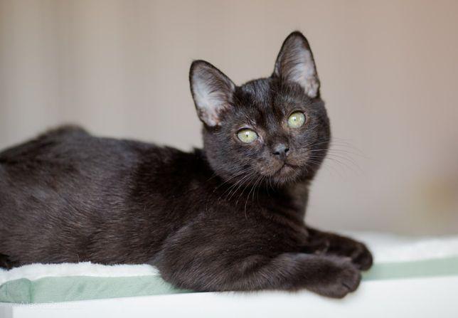 Черный котенок, мальчик короткошерстный