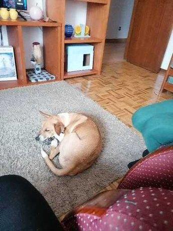 Dou cão porte médio