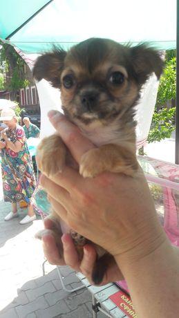 Продам щенка чихуа хуа