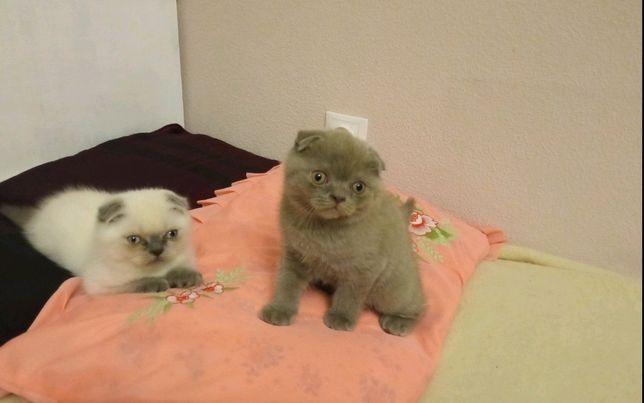 Чистокровні вісловухі шотландські кошенята