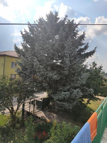 Oddam drzewo drewno świerk za karczowanie wycinke Możliwa dopłata