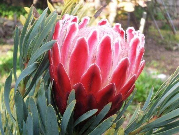 Plantas e vasos Proteas