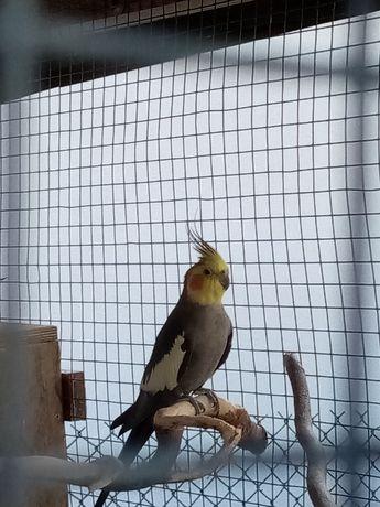 papugi NIMFY z 2021 rok