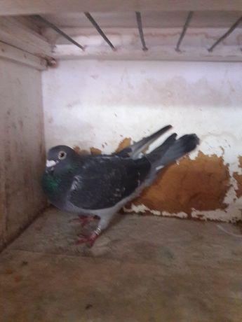 Pombos de alta qualidade