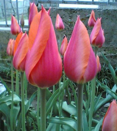 Продам луковицу тюльпана.Распродажа!!! АКЦИЯ!!!