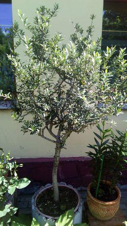 Drzewko oliwka