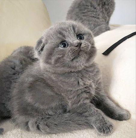 Шотландські, чистокровні кошенятка!