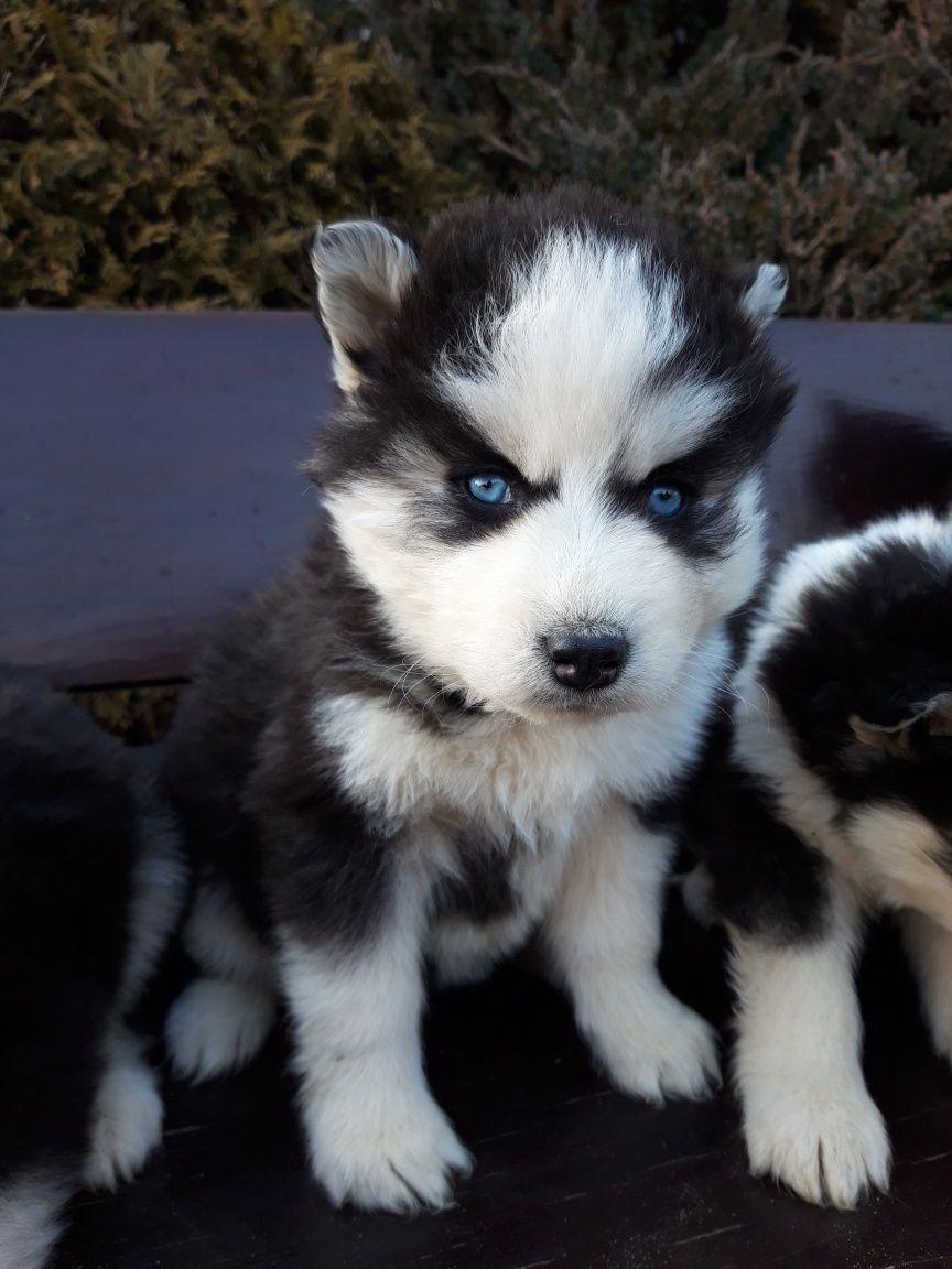 Szczeniaki Siberian Husky Haski
