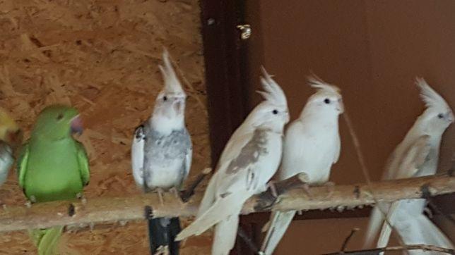 Papugi nimfy i faliste