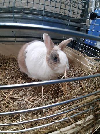 Królik miniaturka samiec króliki samczyk