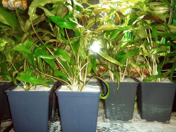 Roślinki do akwarium - kryptokoryna w doniczce (łatwa w uprawie)