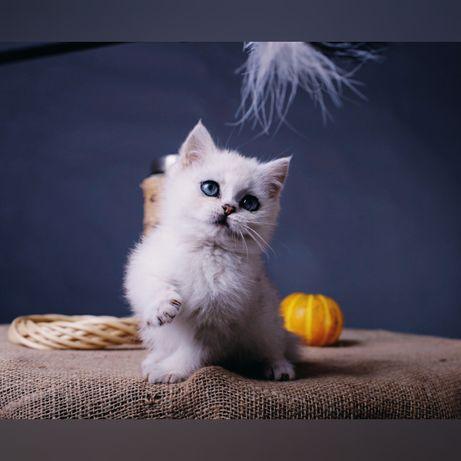 Котенок британской серебристой шиншиллы. Мальчик.