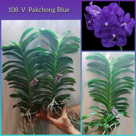 Синяя орхидея ванда из Азии!