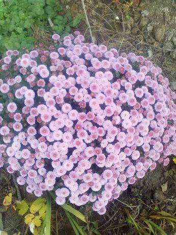 Жоржини бульби квітів, хризонтема, квіти, цвіти