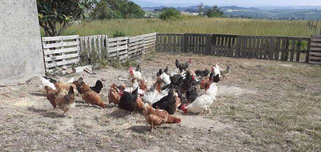 Vendo um galinheiro com galinhas, galos e patos