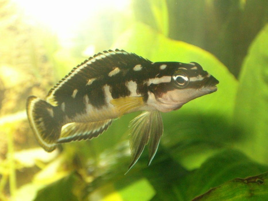 Tanganika Julidochromis transcriptus elblag Elbląg - image 1