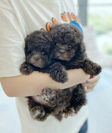 Серый мальчик Teddy poodle