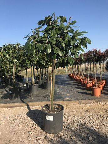 Laurowiśnia / Prunus Laurocerasus Rotundifolia / Zimozielone