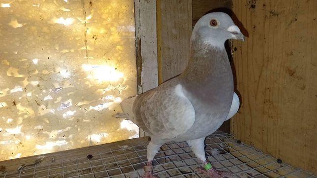 Gołą- samiec pocztowy