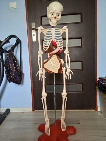 Kostek  szkielet człowieka,  ciało człowieka