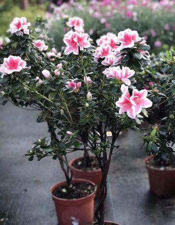 Rododendron Na Pniu Cena 95 zł