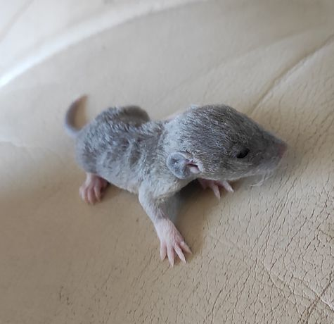 Szczury szczurki dumbo rex fuzz