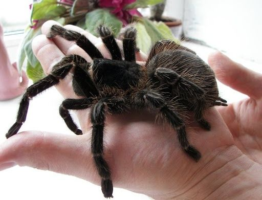 Самка lasiodora parahybana ласiодора парахiбана паук птицеед павук
