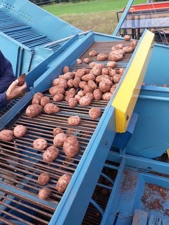 Ziemniaki Jadalne  na Oborniku