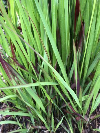 Trawy ozdobne wysokie i niskie, pnącza milin winobluszcz