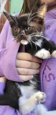 Черно-белый котенок, девочка Лиза, 2 месяца
