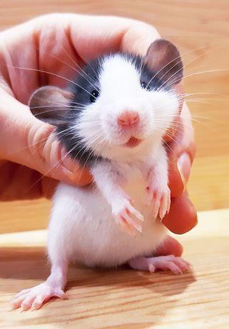 Крыски дамбо,крысы,крысята,клетки,корма,аксессуары