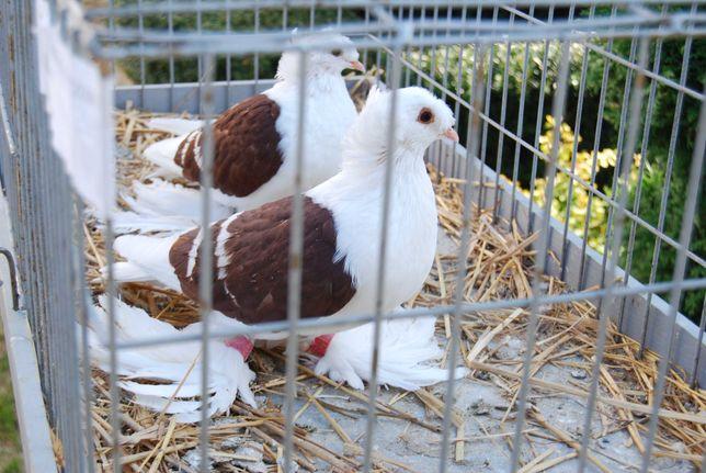 gołębie saksońskie tarczowe parka parzysta z rozpłodu